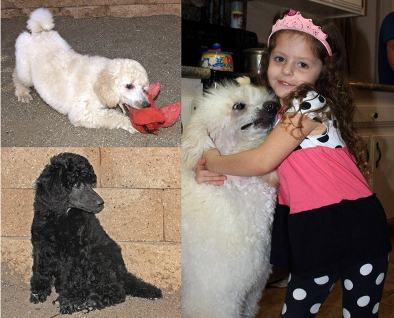 Standard Poodle Great With Kids