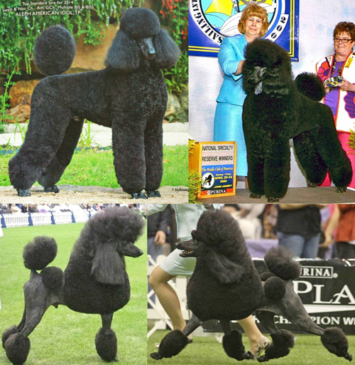 Standard Poodle Sire
